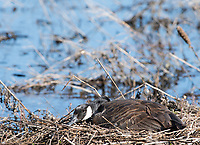 Canada Goose, Branta canadensis, on its nest at Lake Ewauna, Oregon