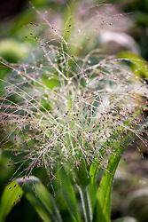 Panicum elegans 'Frosted Explosion' syn. Agrostis 'Fibre Optics' syn. Panicum capillare 'Sparkling Fountain'