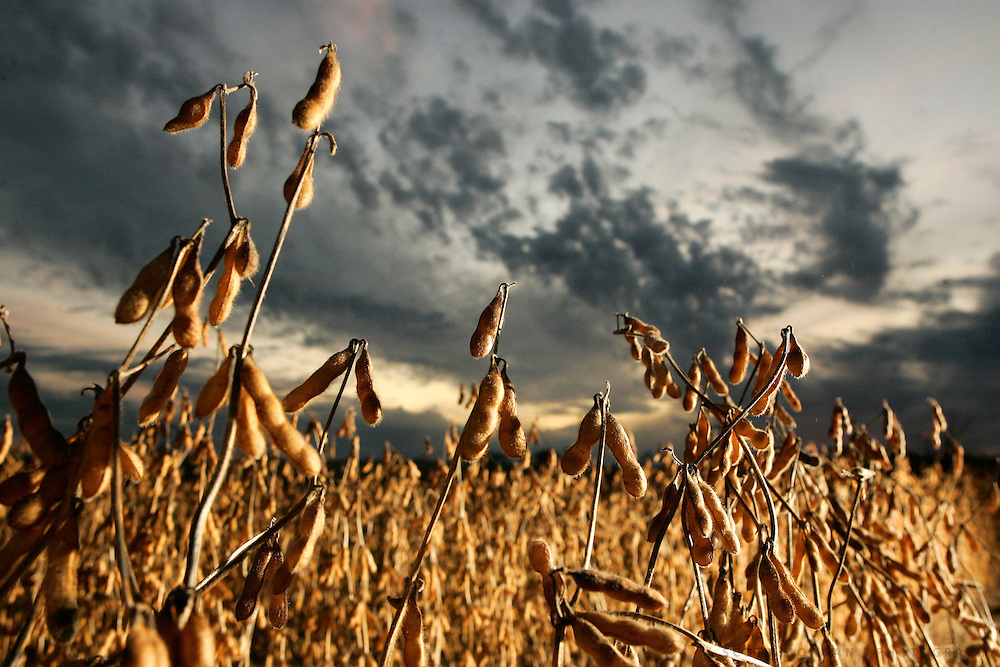 Soybeans about to be harvested in Winnebago County, Illinois.