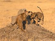 Lion cubs (Panthera leo) playing on a termite mound, Savuti, Botswana