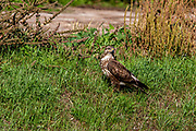 Common buzzard (Buteo buteo) on the ground. This bird of prey is found throughout Europe and parts of Asia, inhabiting open areas, such as farmland and moors, and wooded hills. It grows up to 50 centimetres in length and feeds on small birds, mammals and carrion. Photographed in Israel in January.