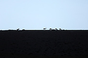 Turkey July 21 2011: Mountain goats silhouetted on a ridge near the chromium mine in the Aladag mountain area near Çukurbag.  Copyright 2011 Peter Horrell