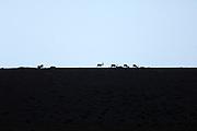 Turkey July 21 2011: Mountain goats silhouetted on a ridge near the chromium mine in the Aladag mountain area near Çukurbag.  Copyright 2011 Peter Horrell