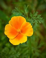 California Poppy (Eschscholzia californica). Image taken with a Nikon D800 camera and 105 mm f/2.8 macro lens (ISO 100, 105 mm, f/8, 1/100 sec).