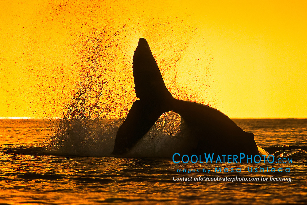 humpback whale, Megaptera novaeangliae, tail breach or peduncle throw at sunset, silhouette of fluke, Hawaii, USA, Pacific Ocean