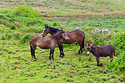 Small, medium and large, Irish horses and donkey in County Clare, West of Ireland