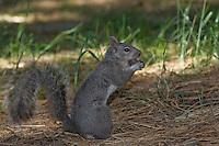 California Ground Squirrel eating an acorn