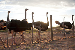 Group of ostriches behind farm fence, South Africa