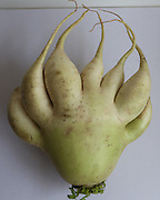 """BENXI, CHINA - JUNE 24: (CHINA OUT)<br /> <br /> Palm-Shaped Turnip <br /> <br /> A palm-shaped turnip is seen on June 24, 2014 in Benxi, Liaoning province of China. The palm-shaped turnip has 7 complete """"fingers"""" and a cutted """"finger"""", which was the result of genic mutation or seed problems in China's northeast city of Benxi.<br /> ©Exclusivepix"""