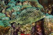 Honeycomb Cowfish (Acanthostracion polygonia)<br /> BONAIRE, Netherlands Antilles, Caribbean<br /> HABITAT & DISTRIBUTION: Above reefs. <br /> Florida, Bahamas, Caribbean,  Bermuda north to New Jersey &  south to Brazil.