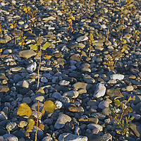 Cottonwood shoots on stone beach next to West Fork of Gallatin River.