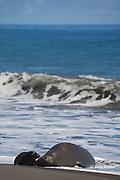 Hawaiian monk seal, Monachus schauinslandi ( Critically Endangered species, endemic to Hawaiian Islands  ), with two week old pup, Waimanu Valley, Hawaii Island ( Pacific Ocean )