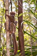 Eastern woolly lemur (Avahi laniger) carrying juvenile in the forest of Palmarium Resort, Madagascar.