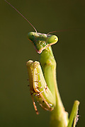 A macro shot of a praying mantis posing for the camera.