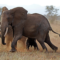 Africa, Kenya, Meru. Tusked elephants at Meru National Park.