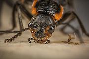 Macro picture of a beetle | Makrobilde av en bille.