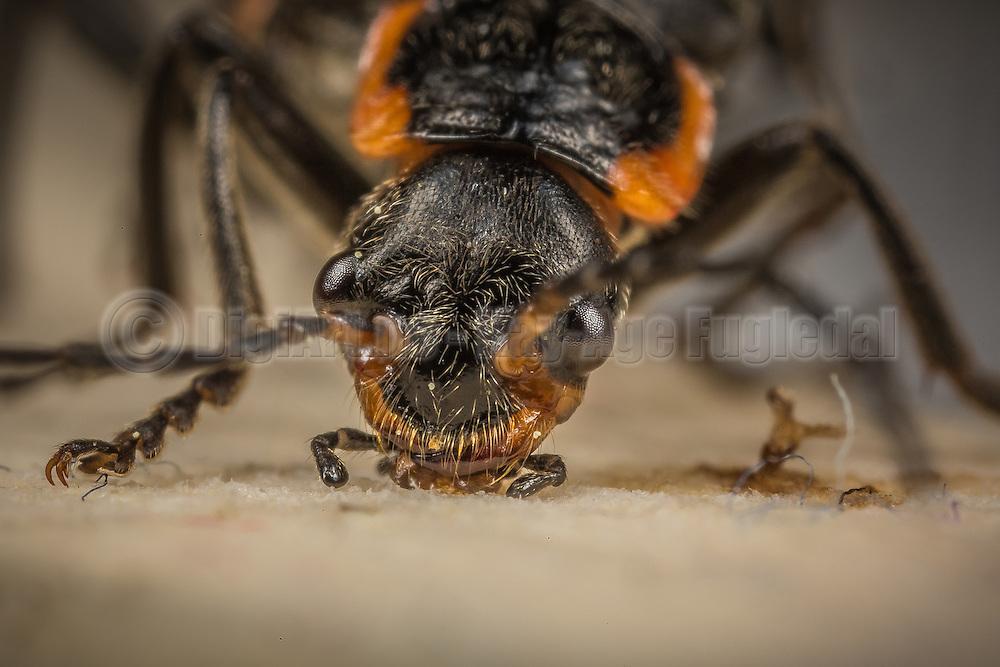 Macro picture of a beetle   Makrobilde av en bille.