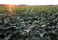 A field of soy crops is seen Sept. 19, 2018, before the upcoming harvest in Chesterfield, New Jersey. (Photo by Matt Smith)