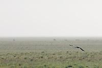 A demoiselle crane (Anthropoides virgo), Rostovsky Nature Reserve, Rostov Region, Russia.
