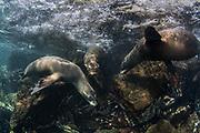 Galapagos Sealion (Zalophus wollebaeki)<br /> Santa Fe Island<br /> GALAPAGOS ISLANDS<br /> Pacific Ocean<br /> ECUADOR.  South America