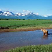 Alaskan brown bear mother and cub crossing a river in Katmai National Park, Alaska.