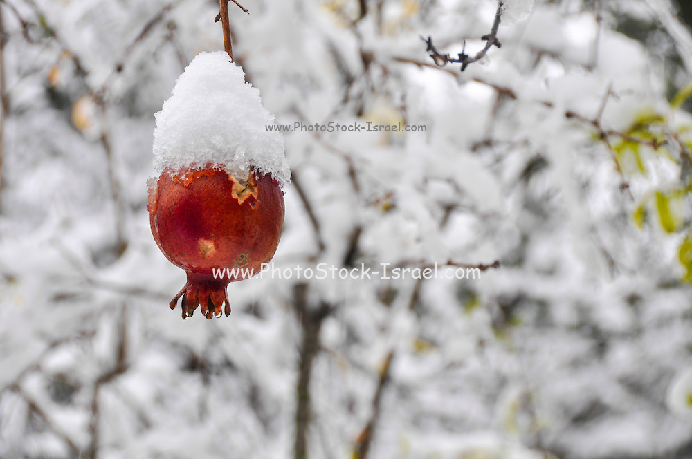 Pomegranate fruit on a tree is covered by snow in a garden photographed in Jerusalem, Israel