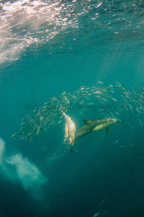 Cape gannet (Morus capensis) & Long-beaked common dolphin (Delphinus capensis)<br /> Feeding in Sardine run,<br /> Eastern Cape<br /> SOUTH AFRICA<br /> Gannet is IUCN STATUS: Vulnerable<br /> Endemic to Southern Africa