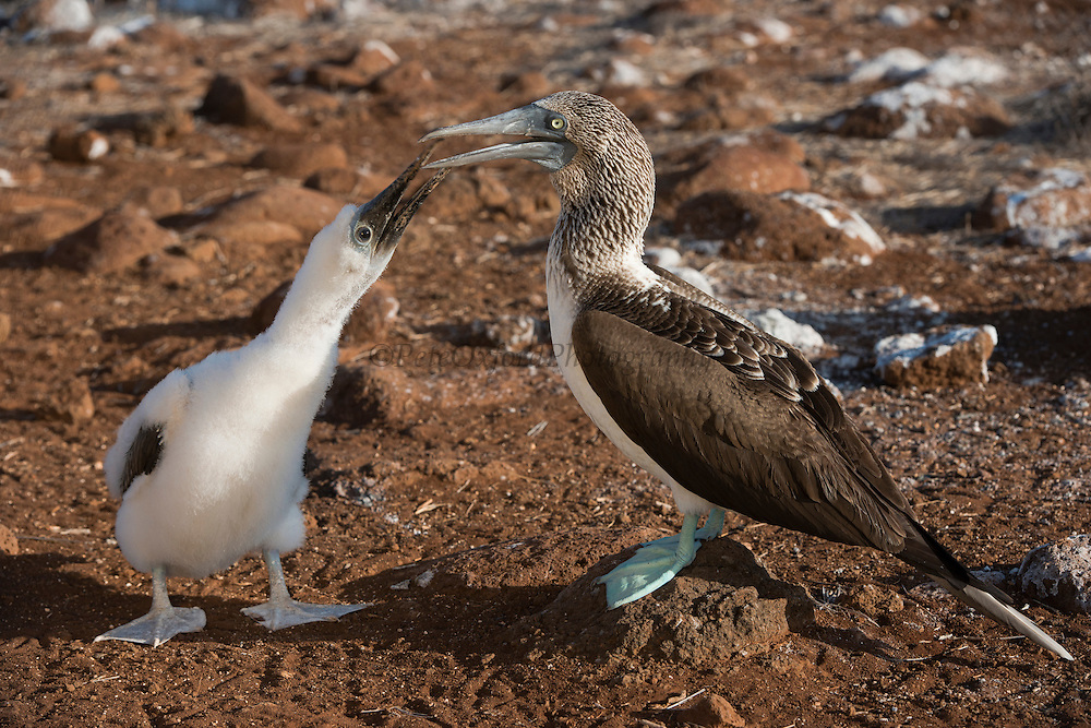 Blue-footed Booby (Sula nebouxii excisa) With Chick<br /> North Seymour<br /> Galapagos Islands<br /> Ecuador<br /> South America