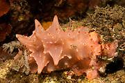 Nudibranch.(Halgerda malesso).Lembeh Straits, Indonesia