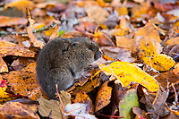 The creeping vole (also known as the Oregon vole or Oregon meadow mouse) is the smallest of the Pacific Northwest vole species and can be found from British Columbia to Northern California, west of the Cascade Mountains.They are so small that a full-grown adult weighs around two-thirds of an ounce! This was one found by leisurely walking among the fallen autumn leaves near the beach in Des Moines, Washington on the Puget Sound.