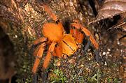 Hunting spider - orange jungle tropical rainforest