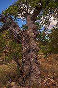 Arizona White Oak, (Quercus arizonica), Santa Rita Mountains, Arizona, USA.