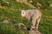 Mountain goat kid during the summer in Colorado