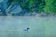 Common loon (Gavia immer)<br />