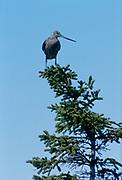 Hudsonian godwit (Limosa haemastica) in spruce tree<br />Churchill<br />Manitoba<br />Canada