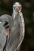 Great Blue Heron (Ardea herodias)<br /> Puerto Ayora. Santa Cruz Island, GALAPAGOS<br /> ECUADOR. South America<br /> RANGE; Alaska, USA to Islands of Venezuela & Galapagos