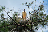 A pair of baby wood storks with parent standing on a branch with their nest deep in a Florida swamp.