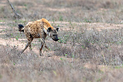 Spotted hyena (Crocuta crocuta) in Kruger NP, South Africa.