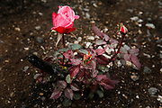 A rose grows in the Coffey Park neighborhood following the Tubbs Fire, Wednesday, March 14, 2018, in Santa Rosa, Calif. The neighborhood was destroyed during the Tubbs Fire.