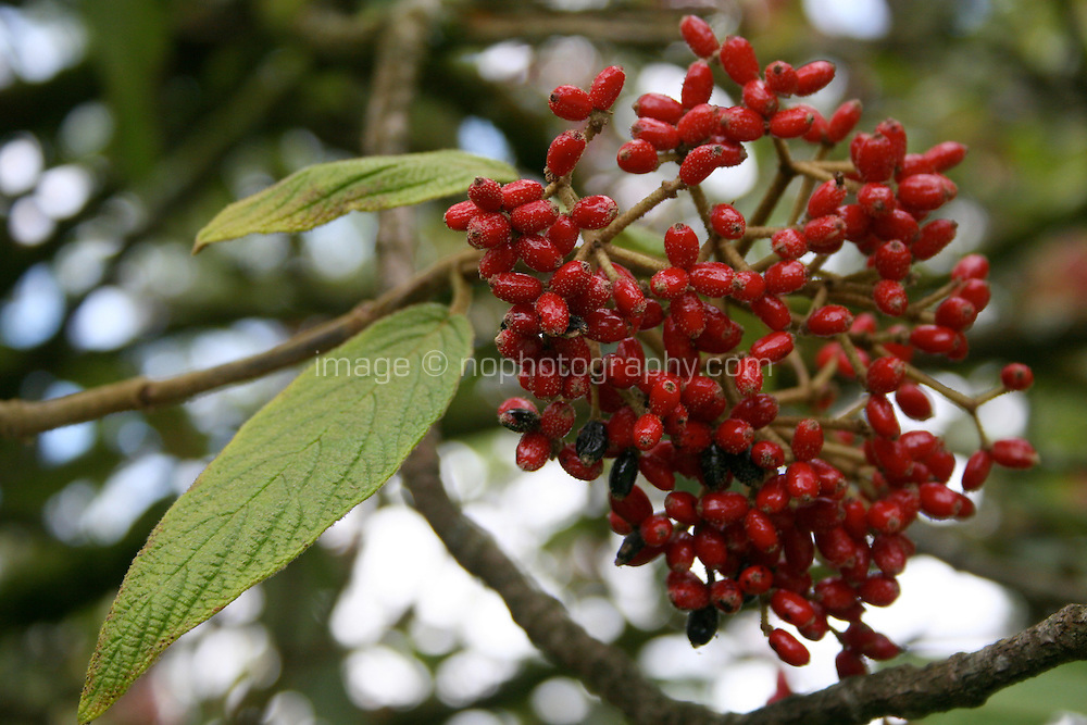 Close up of red berries on tree in Ireland