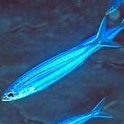 Boga inhabit open water in Tropical West Atlantic; picture taken Turks & Cacios.