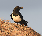 A pied crow (Corvus albus) sits on the thatched roof of a Maasai house. . Sanya Juu, Boma Ngombe, Tanzania.