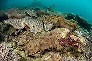 Tasselled Wobbegong (Eucrossorhinus dasypogon)<br /> Raja Ampat<br /> West Papua<br /> Indonesia