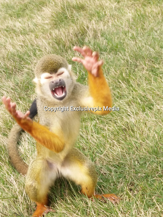 """Naughty monkey gives dramatic expressions while begging for food<br /> <br /> A set of funny pictures of the squirrel monkey emerged on social media site today.  <br /> The squirrel monkey, from Chongqing's Yongchuan Wild Animals World, acted in such a funny way that tourists burst out laughing.   <br /> Some web users said the monkey seemed to be yelling 'oh my god' or 'why'.<br /> One Facebook user named 'Hon Elizabeth Sang' said: 'It's like (the monkey is) saying: """"oh lord, give us food and water to drink.""""'<br /> Another user named 'Denise Lyra Amago Preeo' wrote: 'This monkey is initialising his power.'<br /> Some users suggested that the monkey should be the face of new stickers on instant messaging app such as WeChat and Line.<br /> <br /> Squirrel Monkey is one of the smallest species in the primate group. <br /> It has an average height of 9.8 to 14 inches and weight of 1.68 to 2.38 pounds.<br /> These tiny animals are omnivores and normally eat flowers, leaves, nuts, insects, lizards and eggs.<br /> Yongchuan Wild Animals World was opened in 2000. It has more than 430 animal species, including some endangered and protected species such as snow leopard and strawberry tiger.<br /> The zoo later expanded to be the Leheledu Holiday Resort which has restaurants and hotel rooms.<br /> ©Exclusivepix Media"""