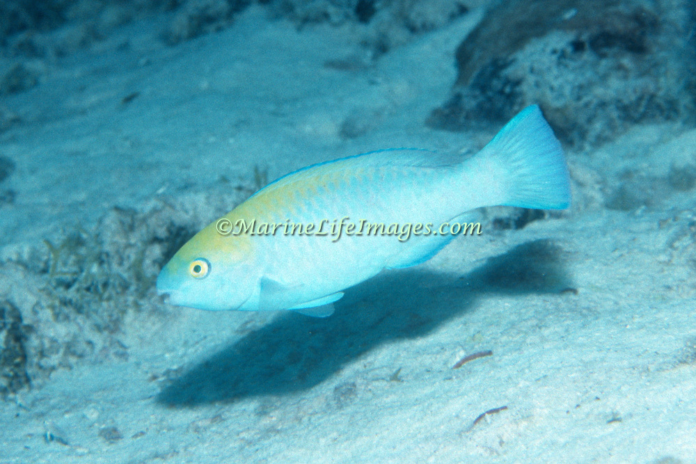 Blue Parrotfish feed over reefs and adjacent areas scraping algae from hard substrates in Tropical and Subtropical West Atlantic; picture taken Key Largo, FL.