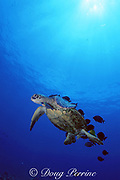 green sea turtle, Chelonia mydas, being cleaned by gold-ring surgeonfish, Ctenochaetus strigosus, and saddle wrasse, Thalassoma duperrey, Kona, Hawaiii, United States ( Central Pacific Ocean )