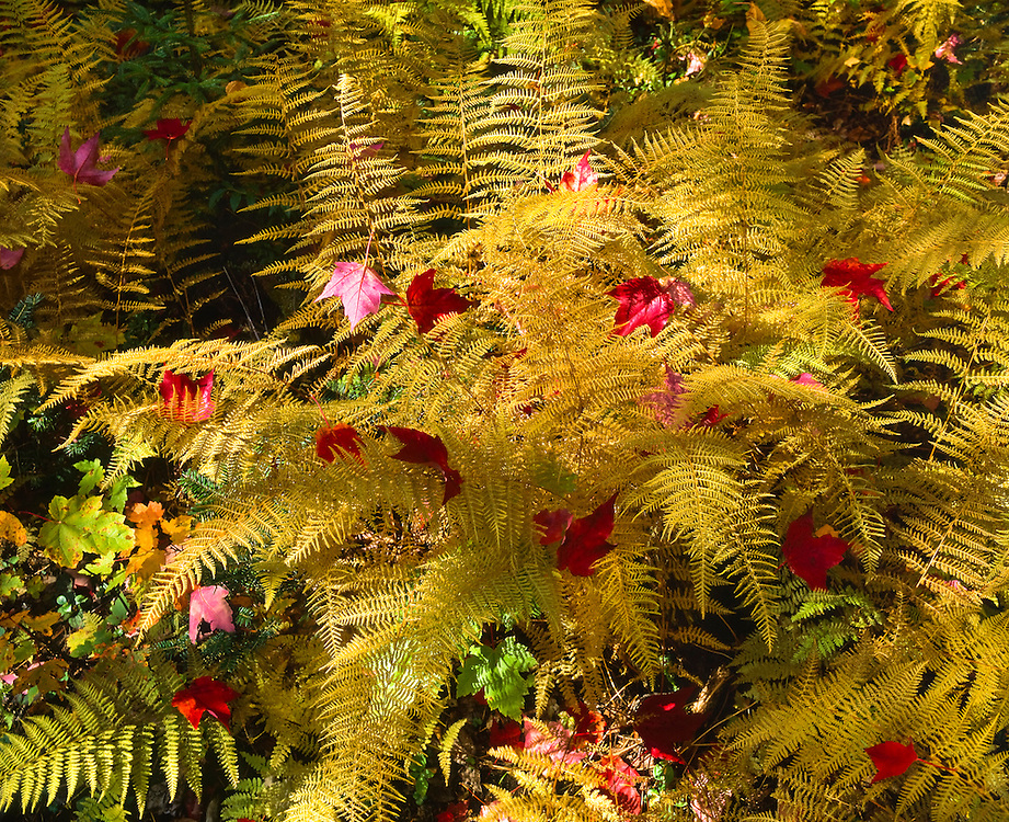 Fall colors of ferns decorated with red maple leaves, Baxter State Park, ME