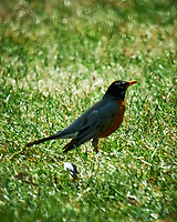 American Robin. Image taken with a Nikon D4 camera and 600 mm f/4 VR lens + TCE-II 2x teleconverter.
