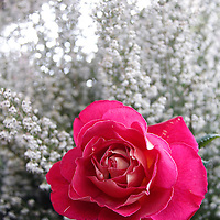 Europe, France, Paris. Rose and Baby's Breath flowers in the Marche aux fleurs.