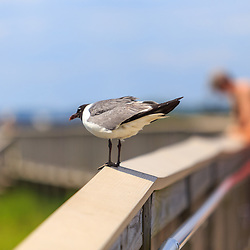 Berlin, MD - July 10, 2016: A seagull stands on a walkway railing in the Assateague Island National Seashore in Maryland.